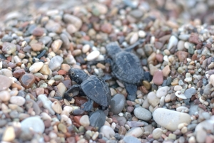 Çirali baby turtles